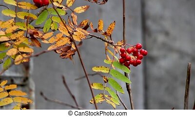 autumn red berries rowanberry with autumn trees and yellow...