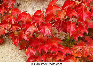 Autumn red colored leaves on stone wall