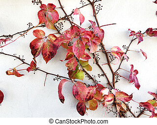 Autumn red creeper plant on a wall creates a beautiful...