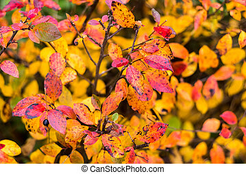 Red leaves on a green background. Blueberry bush garden. Autumn.