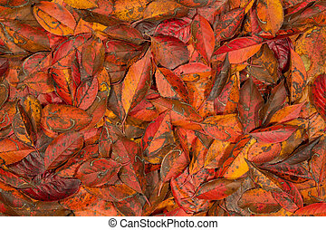 Autumn red leaves