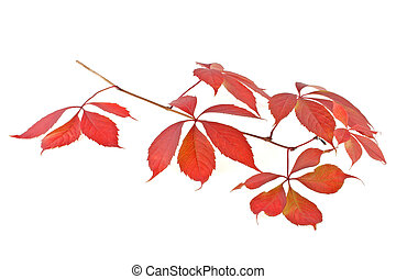 Autumn red leaves isolated on white background