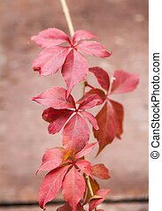 Autumn red leaves on brown background