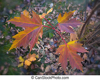 Autumn red maple leaves.