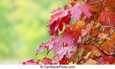 Autumn red maple leaves with blured green foliage in the background