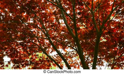 Autumn red maple leaves with foliage in the background. The camera moves back on the slider. Color correction.