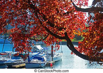 autumn red maple tree