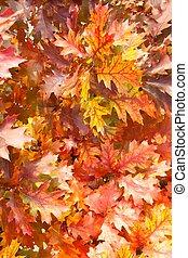Autumn red oak leaves