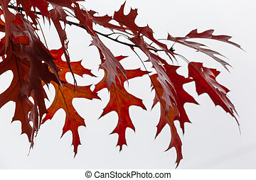 Autumn red oak leaves close-up against the cloudy sky