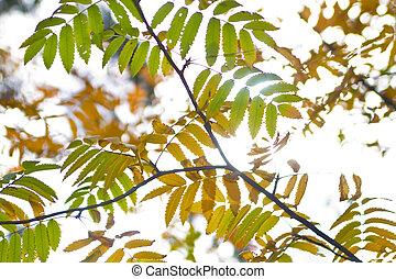 autumn red rowan leaves