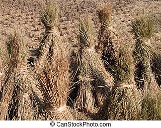 Autumn rice field detail