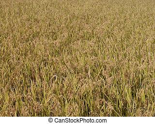 Autumn rice field texture