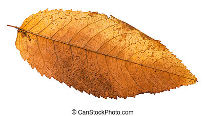autumn rotten leaf of ash tree isolated on white background