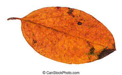 autumn rotten leaf of malus tree isolated on white...