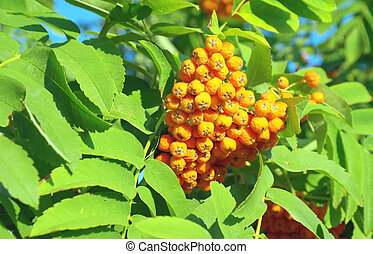 Autumn rowan berries on a tree