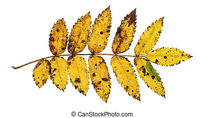 Autumn leaf isolated on the white background