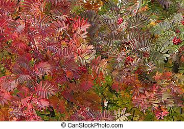 rowan leaves in the trees