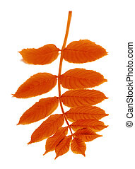 Autumn rowan leaves on white