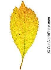 Autumn sakura leaf on isolated