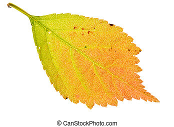 Autumn sakura leaf