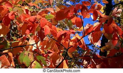 Autumn Sassafras Leaves HD Loop