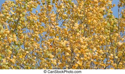 Autumn Scene. Beautiful yellow leaves swaying in the wind. Trees in the Park, forest.