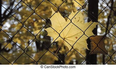 Autumn Scene. Beautiful yellow maple leaves swaying in the wind. Trees in the Park, forest.