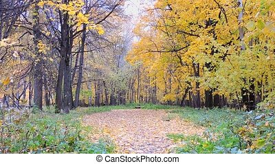 Autumn Scene. Falling colorful maple leaves, yellow trees in autumnal park