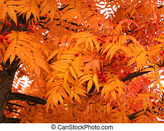 Autumn scene in Mellerud, Sweden. Orange leaves of a sumac tree.