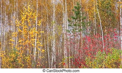 Autumn Scene. Trees with red green yellow leaves are swaying on the wind in the forest.