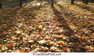 Autumn scene with yellow leaves and sun. Colorful foliage in...