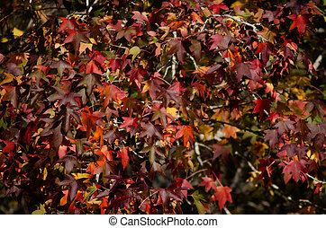 Autumn Season - Branch of maple tree leaves during the...