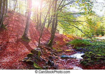 Autumn Selva de Irati beech jungle in Navarra Pyrenees Spain...