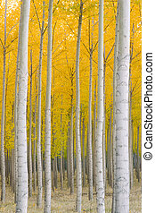 Vertical composition gove of trees ablaze in fall color