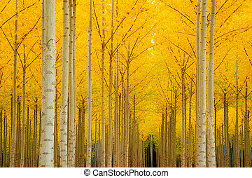 Autumn Stand of Trees