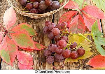 Autumn still life with grapes and wicker basket, green, yellow aand red leaves