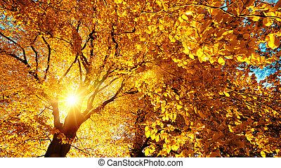 Autumn sun beautifully illuminating a beech tree