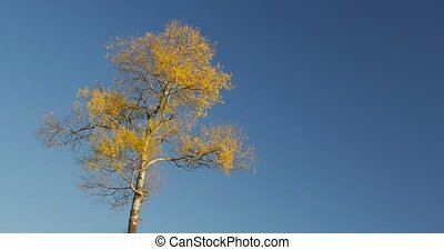 Autumn, the peak of one tree in the blue sky