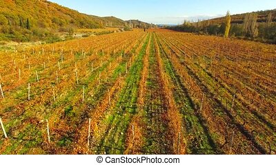 Autumn, the rows of the vineyard from a bird's eye view