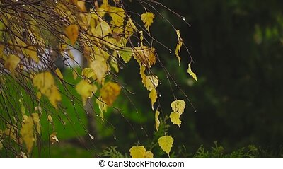 autumn, the wind swirling yellow birch leaves