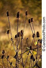 Autumn Thistles Against Fall Field - Autumn thistles and...