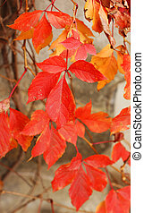 Autumn time: red grape leaves on the old wall