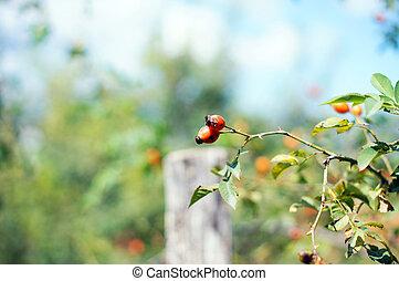 Autumn time: wild rose hips on the bush