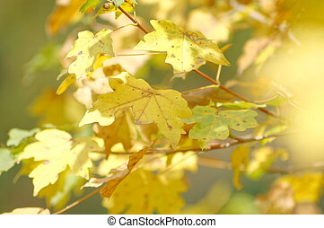Autumn time: yellow beautiful maple