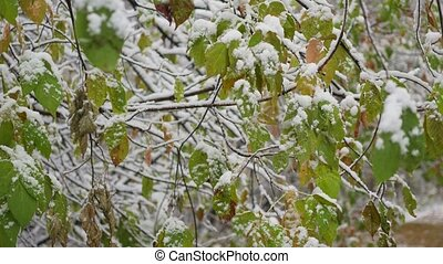 autumn tree branch covered with snow in the park closeup