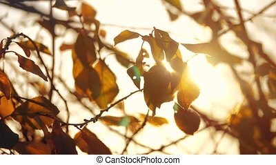 Autumn tree branch leaves on the sun. Fall blurred...