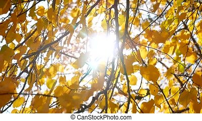 autumn tree branches sunlight leaves. Autumn the landscape....