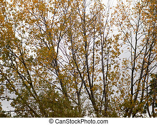 autumn tree branches with golden yellow leaves