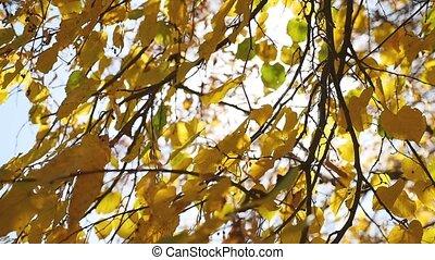 autumn tree maple leaves swaying in the wind, sun glare sunlight