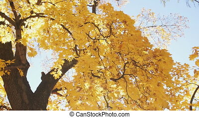 Autumn tree with bright yellow leaves, view from below